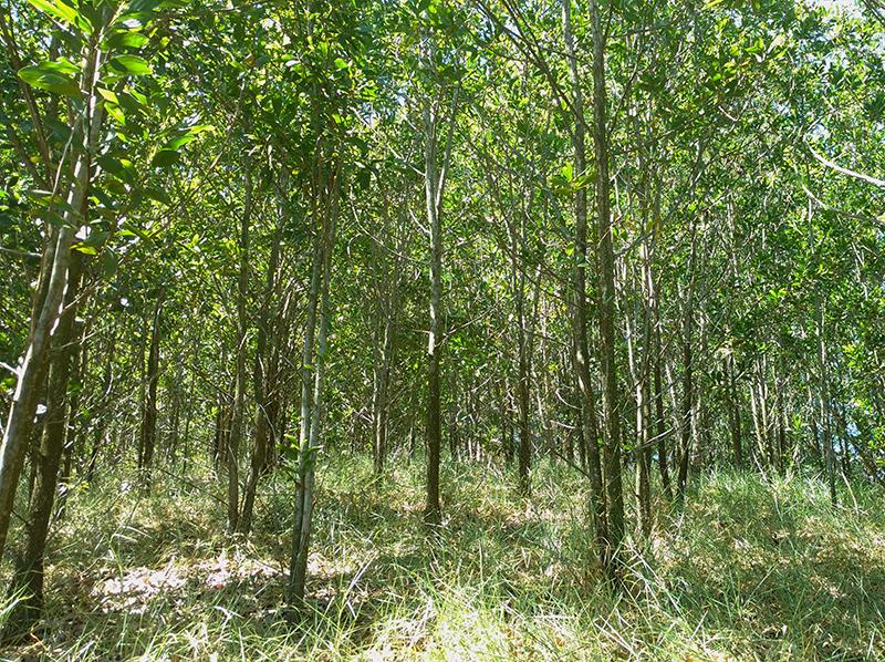 acacia_reflorestamento