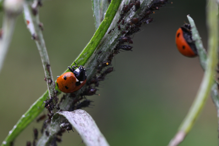Seven-spot ladybird in hunting aphids