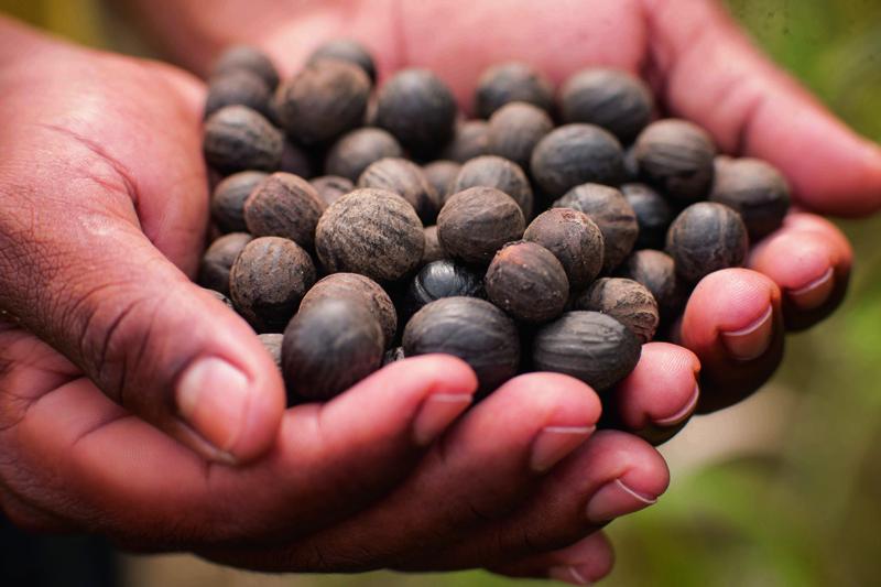 Manejo sustentável da semente de ucuuba_1(1)