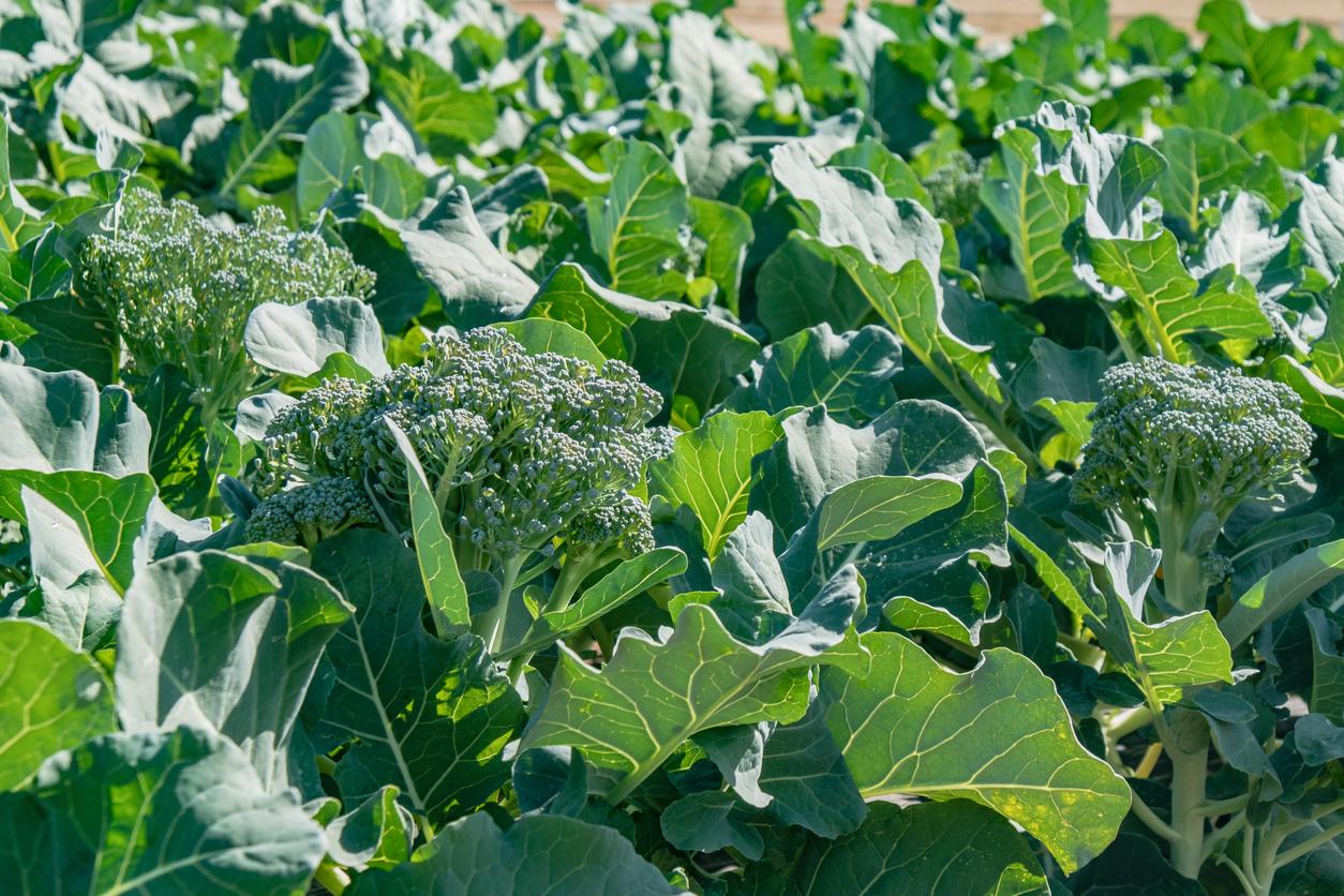 broccoli in farm